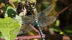 Migrant Hawker (Nick:Wood) Tags: migranthawker aeshnamixta male cuttlepoolnaturereserve warwickshirewildlifetrust templebalsall dragonfly wildlife