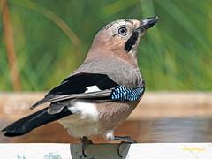 Arrendajo común (Garrulus glandarius) (11) (eb3alfmiguel) Tags: aves passeriformes corvidos corvidae arrendajo común garrulus glandarius
