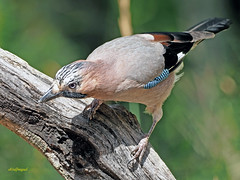 Arrendajo común (Garrulus glandarius) (9) (eb3alfmiguel) Tags: aves passeriformes corvidos corvidae arrendajo común garrulus glandarius
