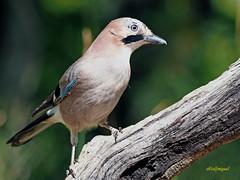 Arrendajo común (Garrulus glandarius) (6) (eb3alfmiguel) Tags: aves passeriformes corvidos corvidae arrendajo común garrulus glandarius