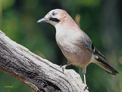 Arrendajo común (Garrulus glandarius) (3) (eb3alfmiguel) Tags: aves passeriformes corvidos corvidae arrendajo común garrulus glandarius