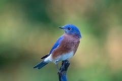130A1579 (Ricky Floyd) Tags: bluebird canon sigma