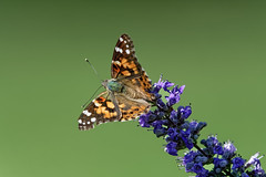 MKZ_0446_DxO (Peeb OK) Tags: outside nature flower flowers wildlife insects macro nikon z6 outdoors