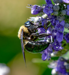 MKZ_0437_DxO (Peeb OK) Tags: flower flowers bug bee insect nature wildlife nikon z6