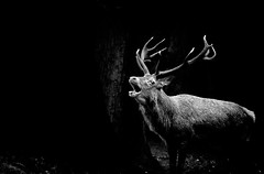 Deer in the Darkness (Andy J Newman) Tags: nature nikon bandw d500 park blackandwhite london animals dark lowlight deer rut bushypark monchrome bushy rutting england unitedkingdom eastmolesey