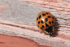 Asian Lady Beetle On Top Of Front Steps 002 - Harmonia Axyridis (Chrisser) Tags: insects insect beetles beetle asianladybeetles asianladybeetle harmoniaaxyridis nature ontario canada canoneosrebelt6i canonefs60mmf28macrousmprimelens coccinellidae lens00025 digital