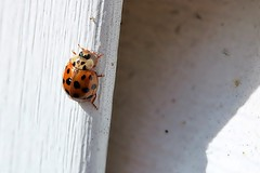 Asian Lady Beetle On J-Channel Of Garage 001 - Harmonia Axyridis (Chrisser) Tags: insects insect beetles beetle asianladybeetles asianladybeetle harmoniaaxyridis nature ontario canada canoneosrebelt6i canonefs60mmf28macrousmprimelens coccinellidae lens00025 digital
