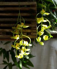 Gongora galeata var. luteola species orchid 10-19* (nolehace) Tags: gongora galeata var luteola species orchid 1019 fragrant fall nolehace sanfrancisco fz1000 flower bloom plant