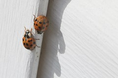 Two Asian Lady Beetles On J-Channel Of Garage 003 - Harmonia Axyridis (Chrisser) Tags: insects beetles asianladybeetles harmoniaaxyridis nature ontario canada canoneosrebelt6i canonefs60mmf28macrousmprimelens coccinellidae lens00025 digital