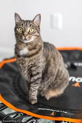 Fit Kitty - 2 (Samantha Decker) Tags: trampoline pet canoneos5dmarkiv cute canonef50mmf14usm franny kitten samanthadecker cat feline