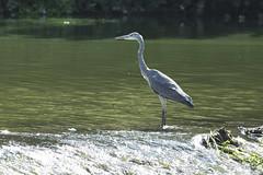_DSC3997_00003 (eric.courant) Tags: mayenne 2019 photo animalière oiseau oiseaux héron cendré