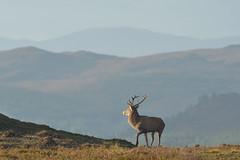 Royal Stag in the Highlands (Gavin MacRae) Tags: reddeerstag royalstag reddeer stag deer cervuselaphus strathglass glenstrathfarrar glenaffric glencannich goldenhour highlandsofscotland highlandnature highlandwildlife highlands highlandlandscape highland autumn autumnwildlife reddeerrut nature nikon wildlife scotland scottishhills scottishlandscape scottishlandscapes scottishnature scottishwildlife s