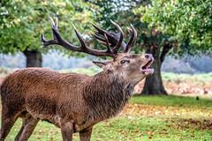 Loud and Proud - large stag in the midst of rutting season (Andy J Newman) Tags: nikon london nature d500 rut bushypark bushy rutting park deer animals teddington england unitedkingdom