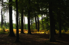The big boys (F VDS) Tags: sonian forest autumn nature landscape october trees leafs sunlight