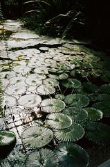 (Tamar Burduli) Tags: tamarburduli 35mm nature film analog water plant lily waterlily garden botanicalgarden light grain poznan poznań poland travel yashica tataburduli თათაბურდული თამარბურდული plants