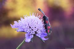 Sphinx Bélier (Clém VDB / Tiogris) Tags: sphinxbélier papillon butterfly insect droplets scabieuse macro nature closeup bokeh zygène
