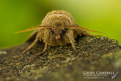 Brindled Ochre (Dasypolia templi) (gcampbellphoto) Tags: brindled ochre dasypolia templi moth insect macro nature wildlife antrim gcampbellphoto