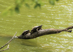 two turtles over green water (Constantine L.) Tags: turtle lake virginia mauri eastern painted newport news nature wild life outdoors park green water landscape tree dead