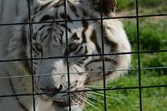 ||| Bars..Might Not..A Prison Make ||| (Wolverine09J ~ 1.8 Million Views) Tags: siberiantiger white bigcat captivewildlife park closeup nature summer largemammal feline enclosure
