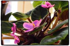 African violet - chimera (Adam Nowak) Tags: petals violets color flowers leaves buds hair saintpaulia africa