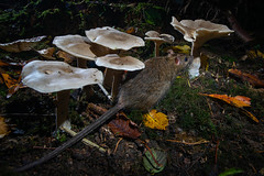 Ratty and Fungi 2 (J Formstone) Tags: autumn rat fungi dslrcameratrap rodent nocturnal wildlife fungus toadstools