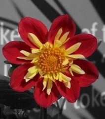 Photo of Dahlia colour pop flower study.   (IMG_2666e)