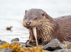 Otter (Chas Moonie-Wild Photography) Tags: otter wild sea loch scotland mammal fish