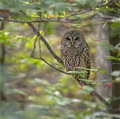 My First Barred Owl (glenda.suebee) Tags: lifer first barred owl barredowl ohio wildlife 2019 ohiofoothills glendaborchelt canon80d 400mm f56 1100 640iso