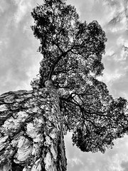 Tall (jdcg0007) Tags: blackandwhite white plant abstract black tree nature wildlife wide wideangle iphone iphone11pro england old sky clouds forest natural stormy bark rough