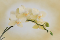 Yellow Cream Orchid Spray (Patti Deters) Tags: flower orchid spray cream yellow plant botany petals blooming bloom fresh spring floral flora flowering arch bud stalk blossom pattideters