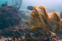 Beach Dive August 24, 2019 BLS-29 (brianlusmith) Tags: underwater photography coral fish ocean dive scuba snorkel divers scubadivers padi diving reef rock water sealife wreck saltwater