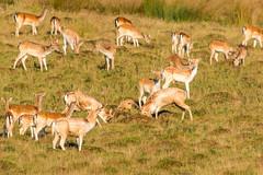 Spectators to the rut (ejwwest) Tags: bucks wildlife fallowdeer rut petworth mammals sussex nt england unitedkingdom