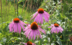 Russia, Moscow, the Flowers of the Eastern Purple Coneflower (Echinácea purpúrea, Asteraceae) bloom in the Flower beds of VDNKh (ВДНХ), Ostankinsky District. (sacalevic) Tags: park moscow russia москва россия парк flowers nature природа столица цветы flower garden macro макро blossom blossoming цветение клумба flowerbed field plant вднх vdnkh ostankinodistrict районостанкино sunnyday солнечныйдень ostankinskydistrict районостанкинский флора flora останкинскийрайон останкино ostankino эукариоты цветковые двудольные астроцветные астровые эхинацея эхинацеяпурпурная echináceapurpúrea echinácea easternpurpleconeflower purpleconeflower plantae angiosperms eudicots asterids asterales meadow поляна цветочнаяполяна flowermeadow трава grass