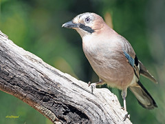 Arrendajo común (Garrulus glandarius) (13) (eb3alfmiguel) Tags: aves passeriformes corvidos corvidae arrendajo común garrulus glandarius