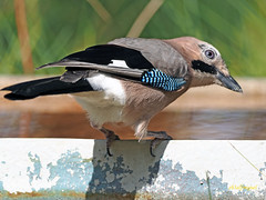 Arrendajo común (Garrulus glandarius) (10) (eb3alfmiguel) Tags: aves passeriformes corvidos corvidae arrendajo común garrulus glandarius
