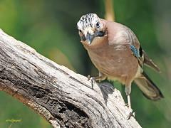 Arrendajo común (Garrulus glandarius) (8) (eb3alfmiguel) Tags: aves passeriformes corvidos corvidae arrendajo común garrulus glandarius