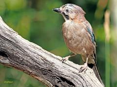 Arrendajo común (Garrulus glandarius) (2) (eb3alfmiguel) Tags: aves passeriformes corvidos corvidae arrendajo común garrulus glandarius