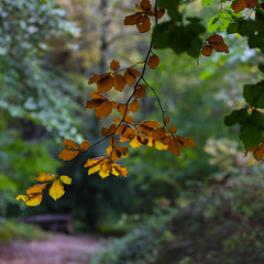 Autumn is Coming-6837 (alan.dphotos) Tags: woodland tree trees golden leaf leaves green autumn wet floor branches twigs highgate country park trunk branch landscape forest outdoor foliage plant serene