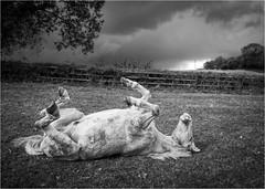 Play Dead (Fitzpaine) Tags: horse whitehorse equestrian equine farm farmland paddock field blackandwhite bw monochrome mono upsidedown hooves tauntondeane taunton staplefitzpaine westcountry somerset england uk evileye xt2 fujifilmxt2 samyang samyang12mm wideangle davidjdalley legsakimbo legs