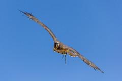World Center for Birds of Prey, Boise, ID (epix360) Tags: birds prey raptors wildlife nature boise idaho conservation flight falconer hawk falcon eagle
