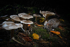 Ratty and Fungi (J Formstone) Tags: autumn dslrcameratrap fungi rat woodland rodent clouded funnel