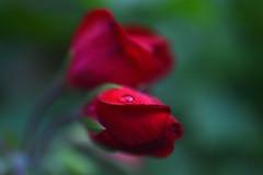 final show...  budding Pelargoniums in my garden (Rachel_ B) Tags: macro bokeh pelargoniums buds red raindrops
