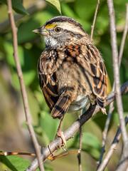 White-throated Sparrow (shooter1229) Tags: animal avian bird heronpark nature outdoors wetlands whitethroatedsparrow wildlife