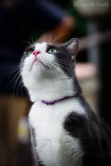 Gatto Zen (4) - Zen cat (4) (Eugenio GV Costa) Tags: approvato gatto cat gatti cats animal animali domestici