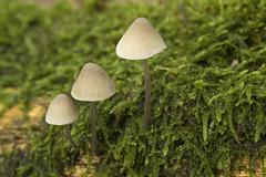 Paddenstoel - Ockenburgh - 's-Gravenhage (Jan de Neijs Photography) Tags: paddestoel ockenburg macro canonef100mmf28lmacroisusmlens bos forest landgoedockenburg nationaalparkhollandseduinen zuidhollandslandschap zuidholland holland nederland thenetherlands ockenburgh denhaag closeup mushroom toadstool herfst autumn zwam paddenstoel thehague blad hymenofoor pilze paddo fungi loosduinen beschermdnatuurmonument natuurmonument nl dieniederlande southholland zh landgoedockenburgh seta