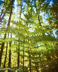 Silverstream Bush 08 (ArdieBeaPhotography) Tags: beech forest bush trees undergrowth ferns silver sunny afternoon moss leaflitter humus branches canopy hillside tamronspaf2875mmf28xrdildasphericalif