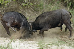 Cape Buffalo Fight (DeniseKImages) Tags: wildlife africa grass southafrica nature wild animal animals wildanimals wildanimal buffalo capebuffalo bigfive