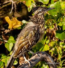 Greater Roadrunner (Lindell Dillon) Tags: greaterroadrunner cuckoo bird birding nature oklahoma wildoklahoma crosstimbersf