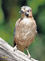Arrendajo común (Garrulus glandarius) (16) (eb3alfmiguel) Tags: aves passeriformes corvidos corvidae arrendajo común garrulus glandarius