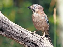Arrendajo común (Garrulus glandarius) (15) (eb3alfmiguel) Tags: aves passeriformes corvidos corvidae arrendajo común garrulus glandarius